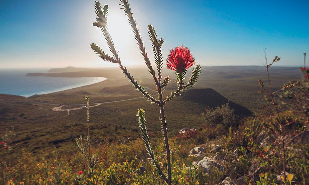 Banksia in the Cape Le Grand National Park