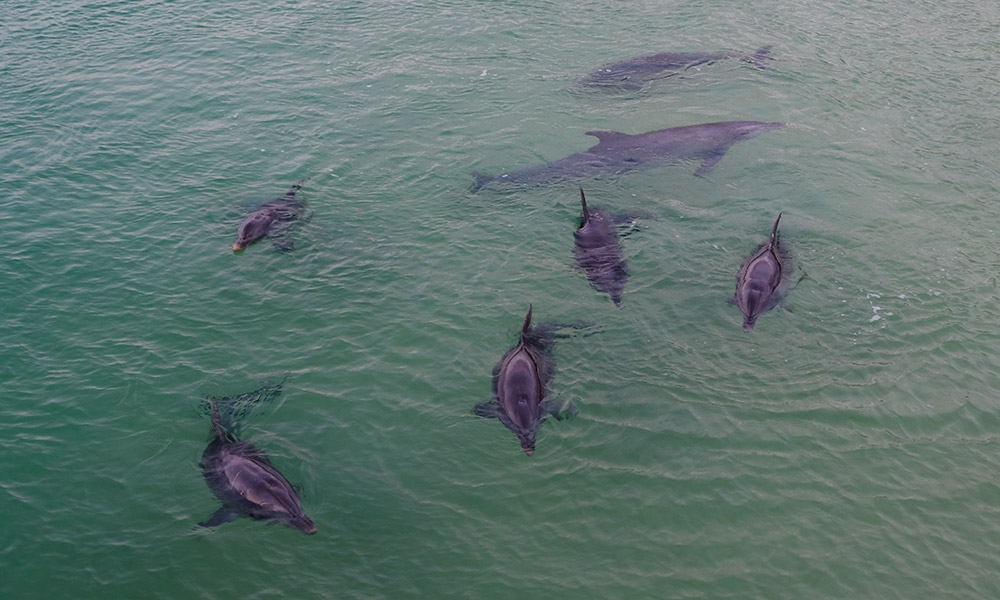 Dolphins playing in the shallows at Tangalooma
