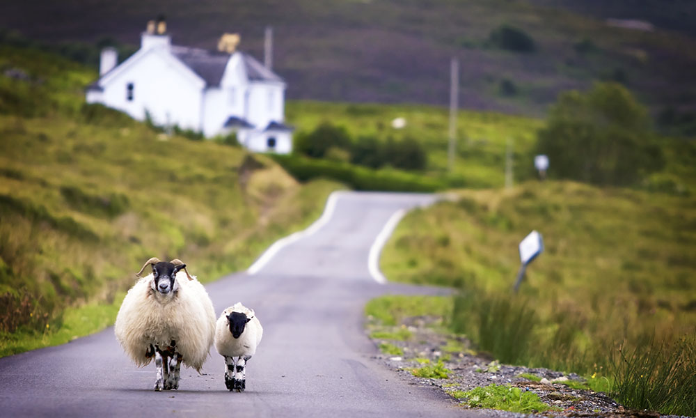 Two sheep walking along a road in Scotland