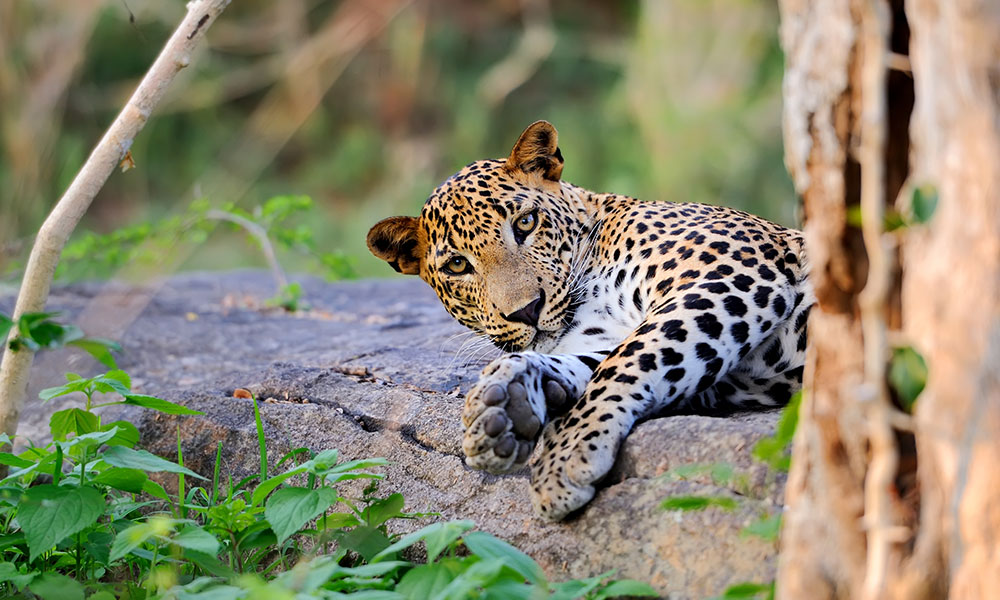 A leopard in Yala National Park, Sri Lanka